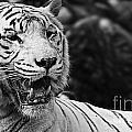 Big Cats 3 by Ben Yassa