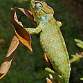 big chameleon of Madagascar 20 by Rudi Prott