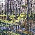 149743-h-big Cypress Swamp  by Ed  Cooper Photography