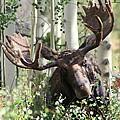 Big Daddy The Moose 3 by Fiona Kennard