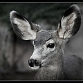 Big Ears by Ernie Echols