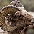 Big Horn Ram   #1503 by J L Woody Wooden