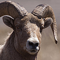 Big Horn Ram   #1701 by J L Woody Wooden