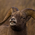 Big Horn Ram   #4136 by J L Woody Wooden