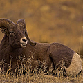 Big Horn Ram   #4452 by J L Woody Wooden
