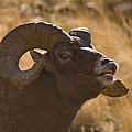 Big Horn Ram   #4856 by J L Woody Wooden