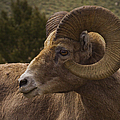Big Horn Ram   #5098 by J L Woody Wooden