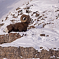 Big Horn Ram   #7036 by J L Woody Wooden
