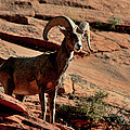 Big Horn Ram At Zion by Marty Fancy