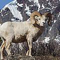 Big Horn Ram In Spring by Jack Bell
