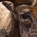 Big Horn Ram by J L Woody Wooden