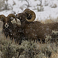 Big Horn Rams In Snow   #2484 by J L Woody Wooden