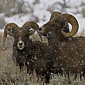 Big Horn Rams In The Snow   #2493 by J L Woody Wooden