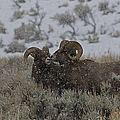 Big Horn Rams In The Snow   #2523 by J L Woody Wooden