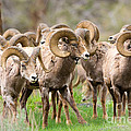 Big Horn Sheep Bachelors by Birdimages Photography
