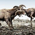 Big Horn Sheep Butting Heads by Yeates Photography