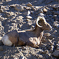 Big Horn Sheep Close Up by Barbara Snyder