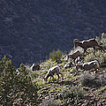 Big Horn Sheep by Craig Bohanan