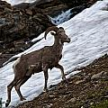 Big Horn Sheep by Craig Brown