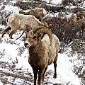 Big Horn Sheep In The Snow by Tisha Clinkenbeard