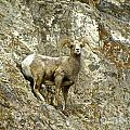 Big Horn Sheep On Mountain by Tisha Clinkenbeard