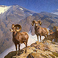 Big Horn Sheep On Wilcox Pass by Mountain Dreams
