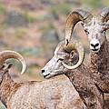 Big Horns by Athena Mckinzie