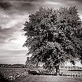 Big Old Tree by Olivier Le Queinec