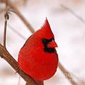Big Red  Cardinal Bird In Snow by Peggy Franz