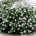 Biggest Rose Bush Ever by Elena Runkle