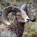 Bighorn Battle Scars by Steve McKinzie