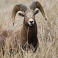 Bighorn Grassland by Steve McKinzie
