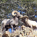 Bighorn by John Cole