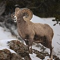 Bighorn Ram In Snow by Christopher Brookhart