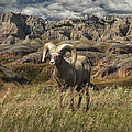 Bighorn Ram In The Badlands by Randall Nyhof