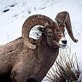 Bighorn Ram by Michael Chatt