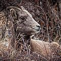 Bighorn Sheep 2 by Karen Saunders