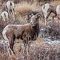 Bighorn Sheep 4 by Karen Saunders