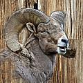 Bighorn Sheep Barnwood by Steve McKinzie