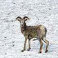 Bighorn Sheep by Crystal Wightman
