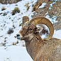 Bighorn Sheep by David Armstrong
