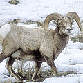 Bighorn Sheep by Sandra Bronstein