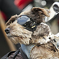 Biker Dog by Gillian Dernie