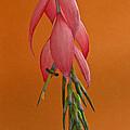 Bilbergia  Windii Blossom by Heiko Koehrer-Wagner