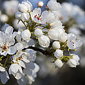 Billows Of Fluffy White Bradford Pear Blossoms by Kathy Clark