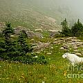 Billy Goat 2 by Natural Focal Point Photography
