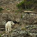 Billy Goat 3 by Natural Focal Point Photography