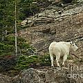Billy Goat 4 by Natural Focal Point Photography