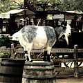 Billy Goat Big Thunder Ranch Frontierland Disneyland by Thomas Woolworth