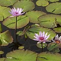 Biltmore Water Lillies by Brook Steed